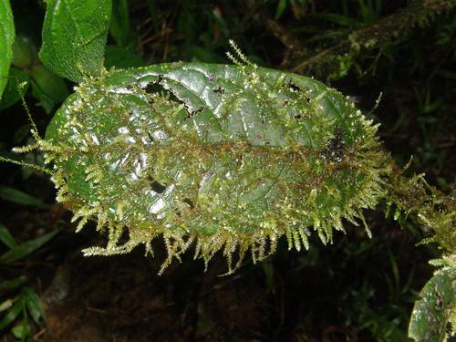Musgos epífilos