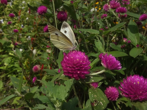 a cabbage butterfly