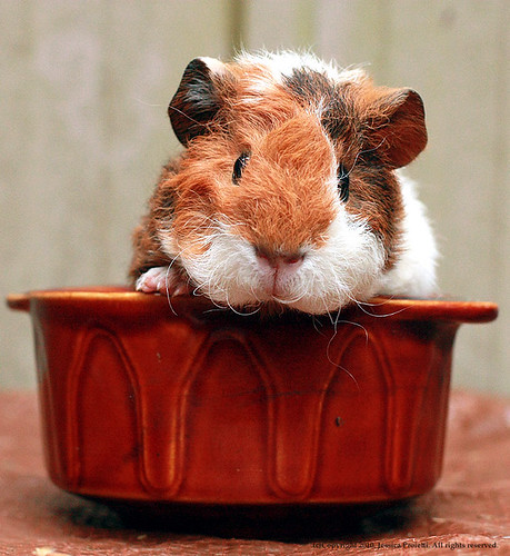 Wiggles the guinea pig