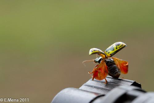 Crisomelido mostrando sus alas!