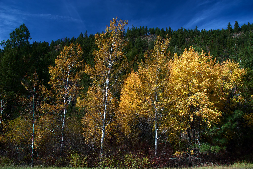 Fall colors ~ Aspen