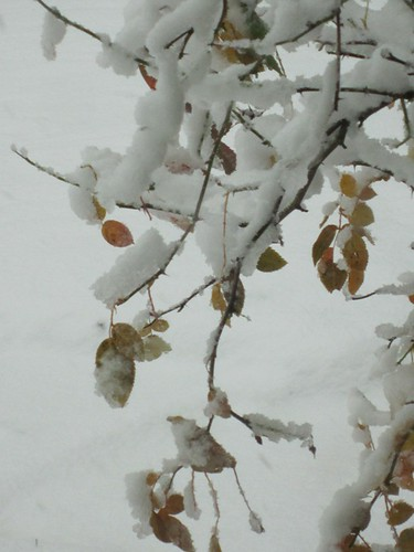 Rose Bush With Snow