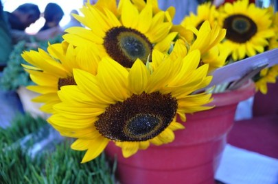 Sun Flowers at the Sarasota Farmers Market, Nov. 20, 2010