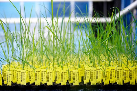 Rice GM ข้าวจีเอ็มระบาดหนักในจีน ผู้เชี่ยวชาญชี้ถึง ผลได้ ผลเสีย