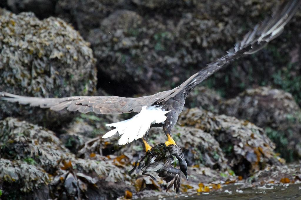 Eagle hunts cormorant