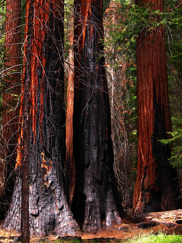 Burned Trunks, Mariposa Grove