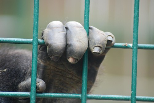 Gorilla im Howletts Wild Animal Park