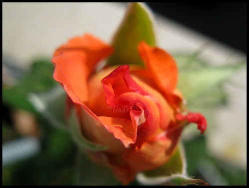 Rosa by [Piccola_iena]