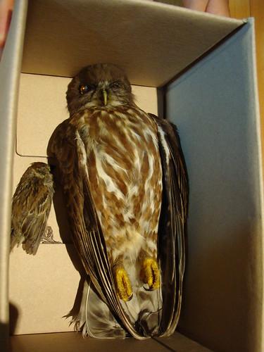 Falke in der Kiste