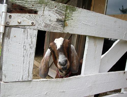 The Latchfords goat