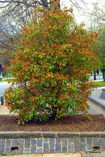 Un colorista arbusto a la entrada del parque de la Vuelta del Castillo por Pío XII