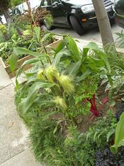 urban garden, corn growing in the sidewalk on Hancock Street