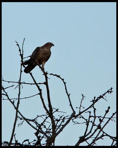 Besra Sparrowhawk