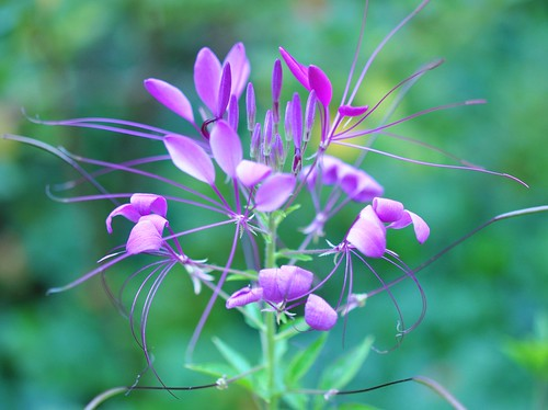 Cleome (spider plant)