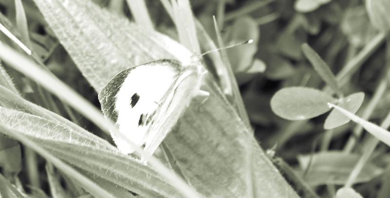 A White Butterfly in a Meadow in West Cork in June