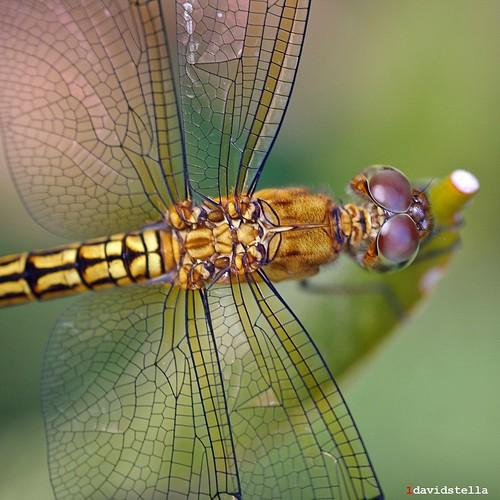 delicate wings, dragonfly, Kota Kinabalu, Sabah, macro.