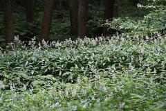 氷取沢市民の森のヤブミョウガ(Hitorizawa Community Woods)