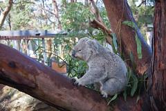 Koala having brekkie