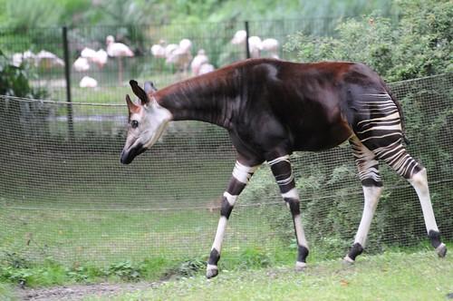 Okapi im Kölner Zoo