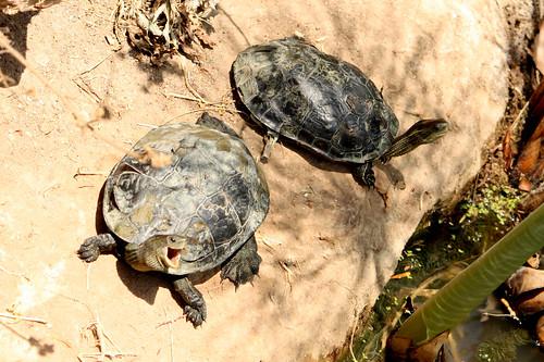 Laughing Turtles