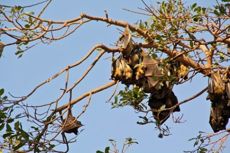 flying fox at botanic garden Maputo