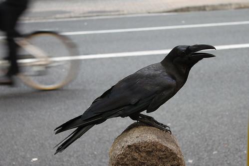 raven not crow