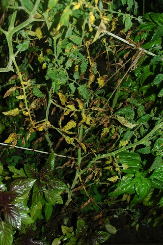 Diseased Tomato Plants