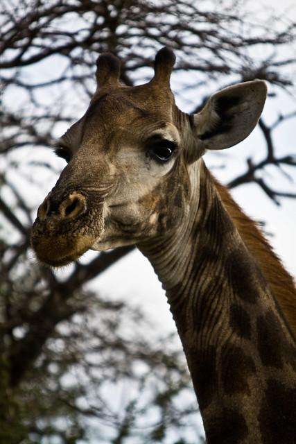 Girafe closeup