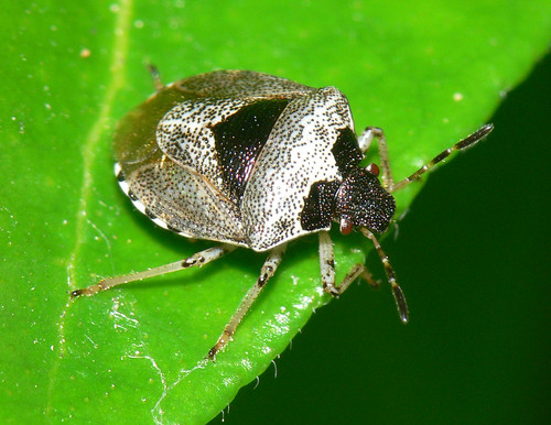 Woundwort shieldbug (Eysarcoris venustissimus)