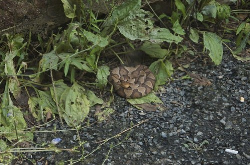 Coiled Up Copperhead