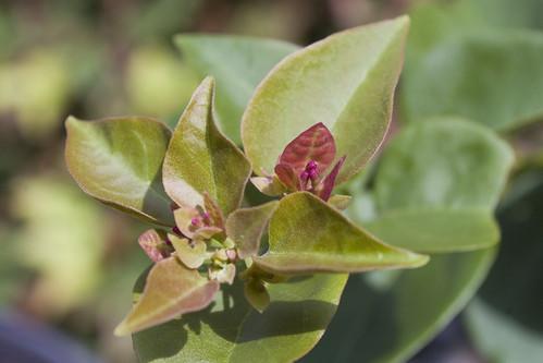 Bougainvillea in bud