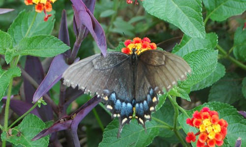 Brown and Blue Butterfly on Lantana