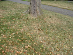 Sure sign fall is coming--all the helicopters fall off the maple trees.