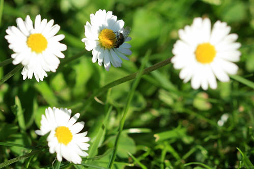Daisies and fly