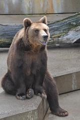 Braunbär im Tiergarten Mönchengaldbach