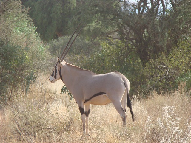 Antelopes - Samburu GR