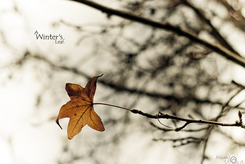 A Winter's Leaf.