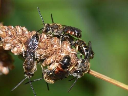 Lasioglossum calceatum (Slender Mining Bee) ?