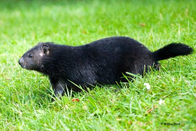 Black Groundhog (Woodchuck) - Canada Day 2010, Ottawa, Ontario