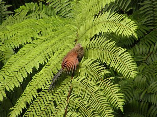 Cucal de Madagascar (<i>Centropus toulou</i>)
