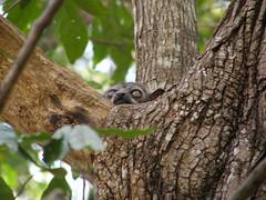 Lémur saltador de cola roja (Lepilemur  ruficaudatus)