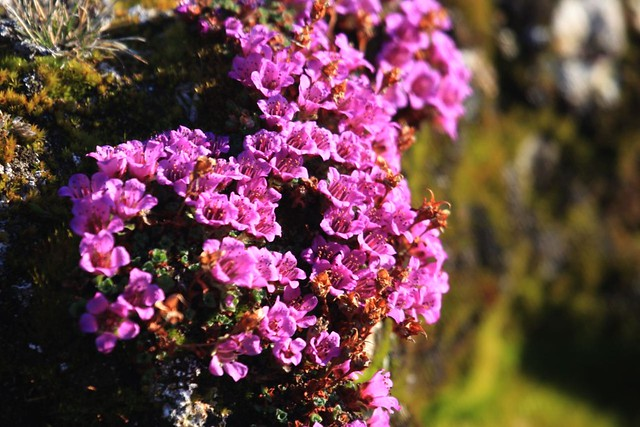 Territorial Flower: Purple Saxifrage