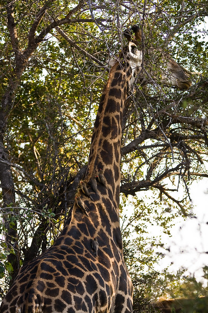 Birds on Girafe
