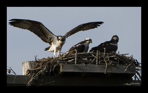 Mama osprey and her two chicks.