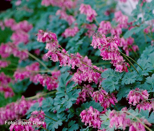 Dicentra formosa Luxuriant2