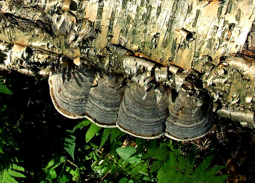 tinder polypores on yellow birch