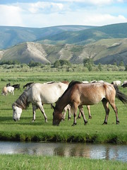 Horses on a Mongolian river plain
