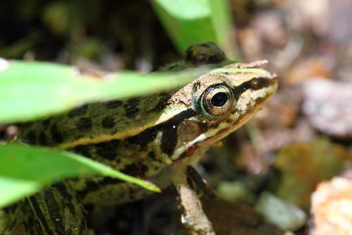 Mini-frog 2