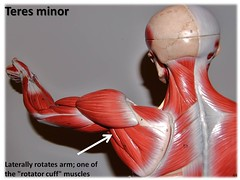 Teres minor - Muscles of the Upper Extremity V...