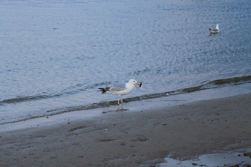 Cape Cod - Chatham Bars Inn - Seagull with Starfish